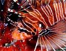 [Image: lionfish.jpg]